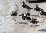 Arenaria interpres; Ruddy Turnstones, note the excited one on the left