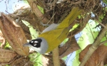 Phaenicophilus palmarum; Black-crowned Palm-Tanager