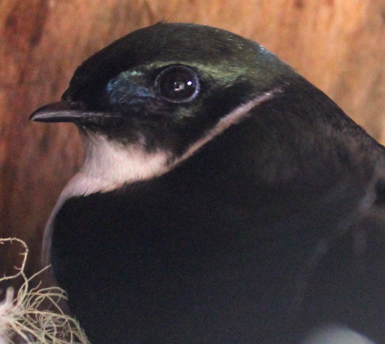 Female GOSW inside nest box