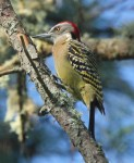 Melanerpes striatus; Carpintero; Hispaniolan Woodpecker