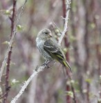 Female Antillean Siskin