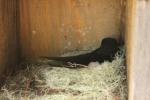 Adult Female incubating