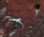 Adult leaving nest-cavity in Aceitillar