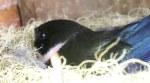 Female incubating inside nest-box