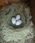 Marked eggs, ready to hatch